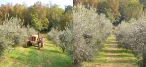 Olio extravergine di oliva del Monferrato