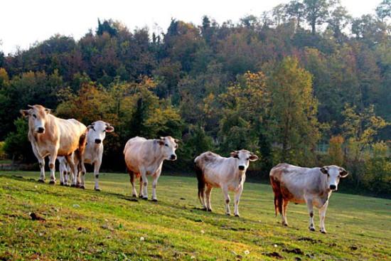 Fassone Piemontese al pascolo - Micco
